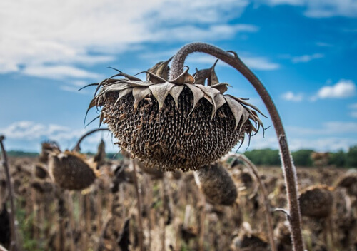 На Шепетівщині з поля вкрали урожай соняшника