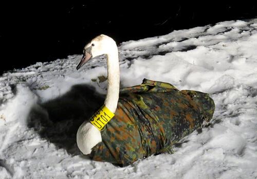 На водосховищі Хмельницької АЕС лебеді рятуються від лютих морозів