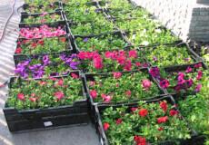 Квіткарі готуються до нового сезону цвітіння
