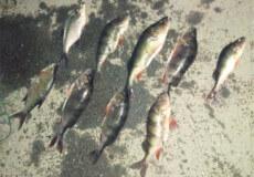 В Ізяславі на річці Горинь батько та син ловили рибу сітками