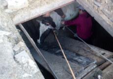 На Білогірщині до жомової ями потрапила корова