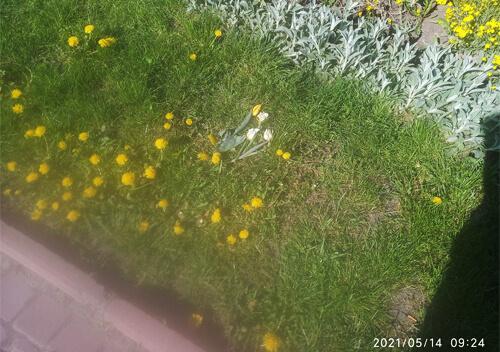 У середмісті Славути невідомі знищили тюльпани