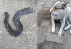 У Шепетівці на захист гадюк стали зоозахисники: одного плазуна загриз пес, іншого — розрубали