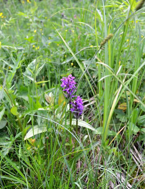 У Шепетівському районі виявили галявину рідкісних орхідей