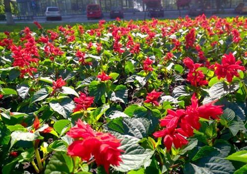 Де у середмісті Нетішина висадили понад тисячу кущів яскраво-червоної сальвії