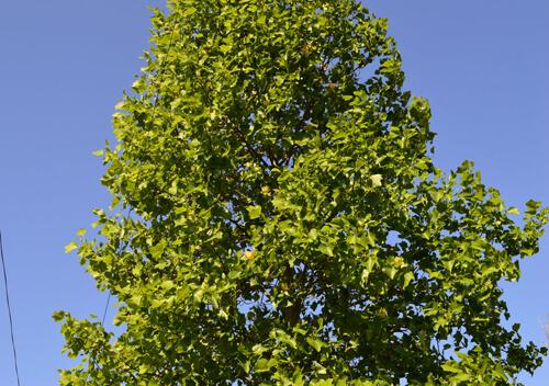 В Ізяславі розквітло дерево, яке є символом трьох американських штатів