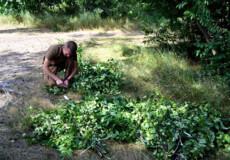 На Ізяславщині заготовляють кормові віники