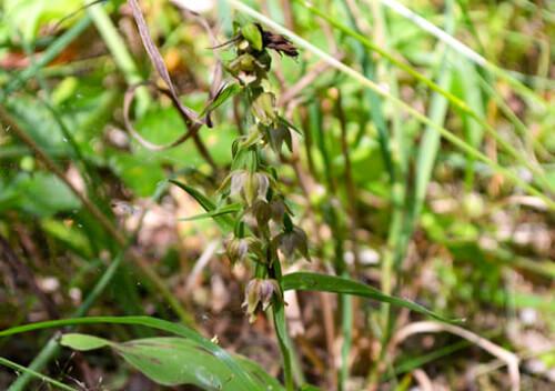 У Національному парку Шепетівського району квітнуть три види червонокнижних орхідей