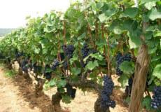 Етапи підгодівлі виноградних кущів