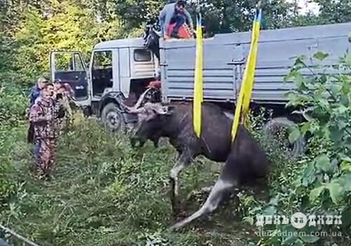 Травмований лось із Шепетівщини стік кров'ю