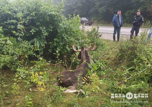 На Шепетівщині виявили травмованого лося: його долю вирішуватимуть екологи