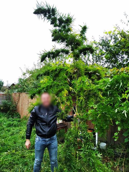 Житель Ізяслава виростив конопляний «садок» заввишки 4 метри