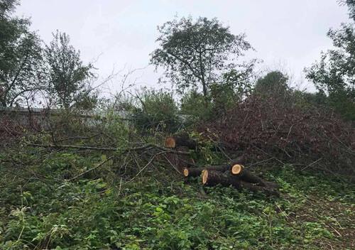 На Хмельниччині у День незалежності незаконно зрізали понад п'ять десятків дерев, аби розмістити трансформатор
