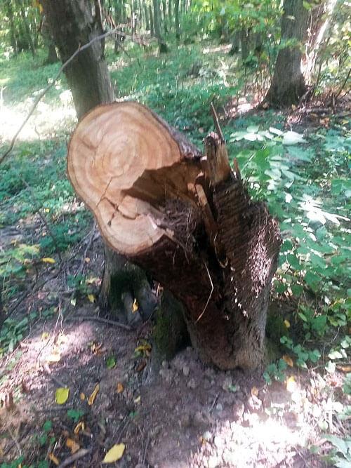 У національному парку на Хмельниччині вирубали понад сотню дерев