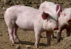 Аграрії із Данії зустрінуться із свинарями Хмельниччини