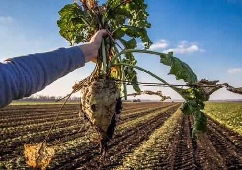 Аграрії Хмельниччини розпочали збирати цукрові буряки