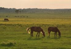 На Шепетівщині злодії викрали з пасовищ телицю та п'ятьох коней